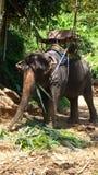 Elefante per i turisti in Tailandia fotografie stock