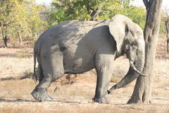 Elefante perezoso Fotos de archivo