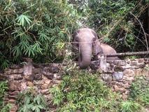 Elefante perto da parede Foto de Stock