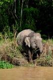 Elefante pigmeo 1 del Borneo Fotografia Stock