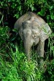 Elefante pigmeo 2 del Borneo Fotografie Stock