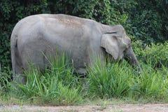 Elefante pigmeo al bacino di Maliau, Sabah, Malesia Immagine Stock