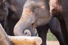 Elefante que é tronco do elevador na mostra do elefante no parque do elefante Fotos de Stock Royalty Free