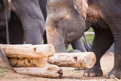 Elefante que é tronco do elevador na terra Imagem de Stock Royalty Free