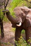 Elefante que agarra un árbol en el arbusto de África Fotos de archivo