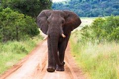 Elefante que anda, África do Sul Fotografia de Stock Royalty Free