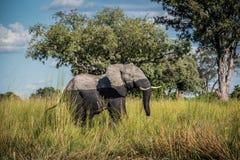 Elefante que anda da água foto de stock royalty free