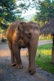 Elefante que anda no parque natural em Chiang Mai Fotografia de Stock