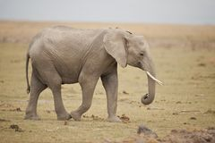 Elefante no savana Foto de Stock Royalty Free