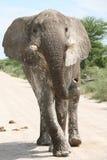 Elefante que ataca Imagenes de archivo