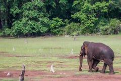 Elefante que camina detrás Imagenes de archivo