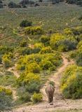 Elefante que camina en el campo de flores amarillas foto de archivo