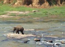Elefante que camina en el río de Maha Oya Imagen de archivo