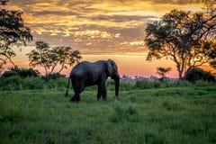Elefante que camina en la puesta del sol en el delta de Okavango foto de archivo libre de regalías