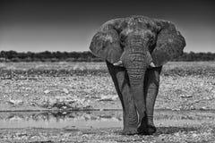 Elefante que camina en la sabana africana de Etosha nafta Versión del Bw foto de archivo