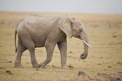 Elefante en la sabana Foto de archivo libre de regalías