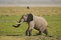 Elefante en la sabana Fotos de archivo