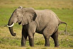 Elefante en la sabana Imagenes de archivo