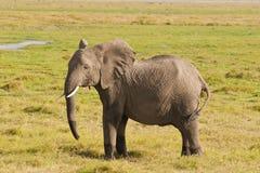 Elefante en la sabana Imagen de archivo