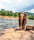 Elefante que camina por el lado de un río imagenes de archivo