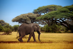 Elefante que camina a través de la sabana Fotos de archivo