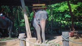 Elefante que come el bastón y que tiene resto después de montar en la selva metrajes