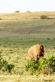 Elefante que come em um arbusto Fotos de Stock Royalty Free