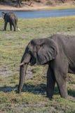 Elefante que come en el parque nacional de Chobe en Botswana Fotos de archivo libres de regalías