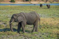 Elefante que come en el parque nacional de Chobe en Botswana Fotos de archivo