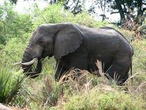 Elefante que come a grama Imagens de Stock