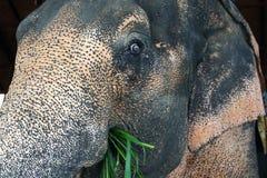 Elefante que come a grama fotografia de stock