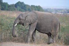 Elefante que come la hierba en paisaje africano Imagen de archivo libre de regalías
