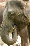 Elefante que come la paja Imagenes de archivo