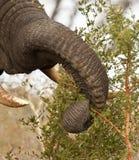 Elefante que come o arbusto do espinho foto de stock