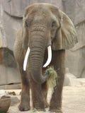 Elefante que come o feno fotografia de stock
