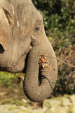 Elefante que come um galho Imagem de Stock