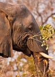 Elefante que come uma filial com folhas imagens de stock