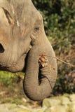 Elefante que come una ramita imagen de archivo