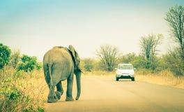Elefante que cruza el camino en el safari en el parque de Kruger Imagenes de archivo