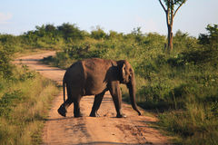 Elefante que cruza a estrada no parque nacional de Udavalave, Sri Lank fotografia de stock royalty free