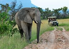 Elefante que cruza o trajeto de um veículo da movimentação do jogo no safari imagem de stock royalty free