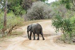 Elefante que cruza un camino de tierra mojado en el parque imagen de archivo