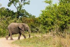 Elefante que cruza un camino de tierra rodeado por los arbustos y los árboles densos en el parque foto de archivo