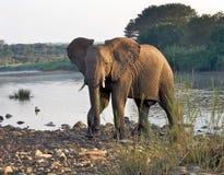 Elefante que cruza un río Fotos de archivo