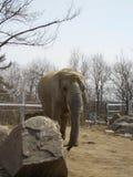 elefante que da un paseo dentro de su recinto en el parque zoológico de Toronto foto de archivo