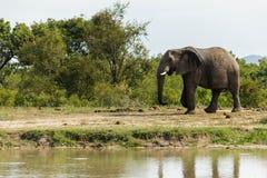 Elefante que da un paseo más allá de un pequeño agujero de riego en el parque fotos de archivo libres de regalías