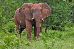 Elefante que emerge del cepillo Fotografía de archivo libre de regalías