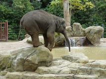 Elefante que equilibra y que bebe Imágenes de archivo libres de regalías