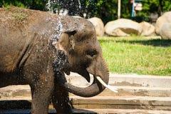 Elefante que espirra com água Fotos de Stock