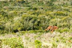 Elefante que está e que come entre todos os arbustos Fotos de Stock Royalty Free